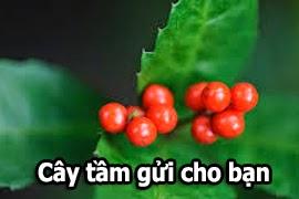 cay-tam-gui