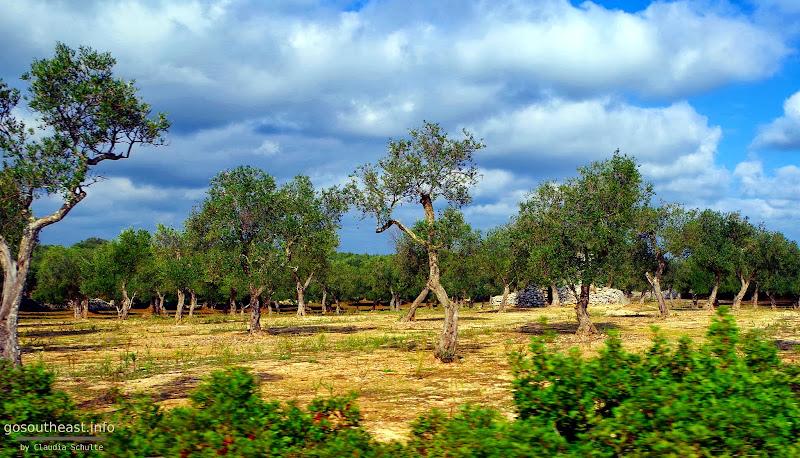 Olivenhaine auf der Strecke Maglie - Otranto