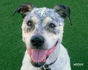 Woody, a senior hound mix was adopted by his foster mom