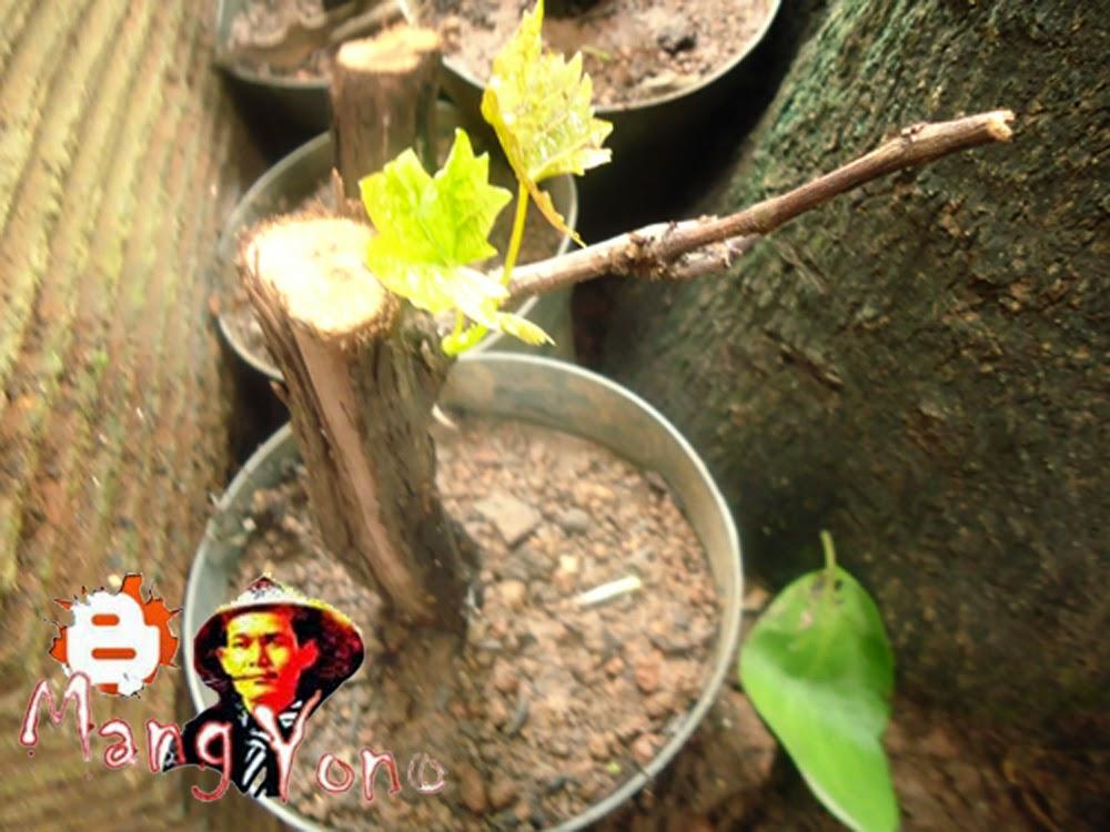 Cara memperbanyak Pohon anggur dengan stek batang indukan