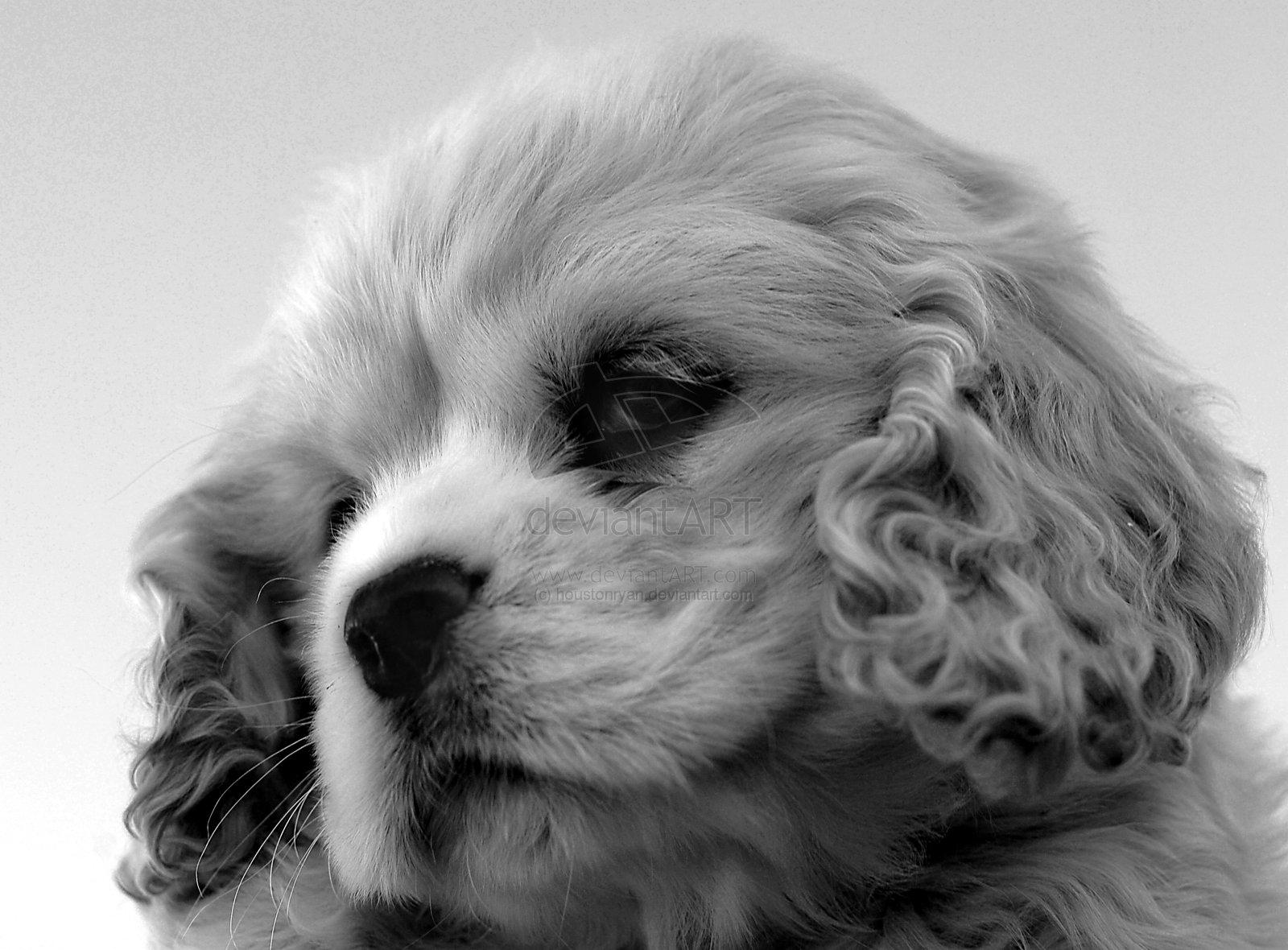siberian husky teacup puppies