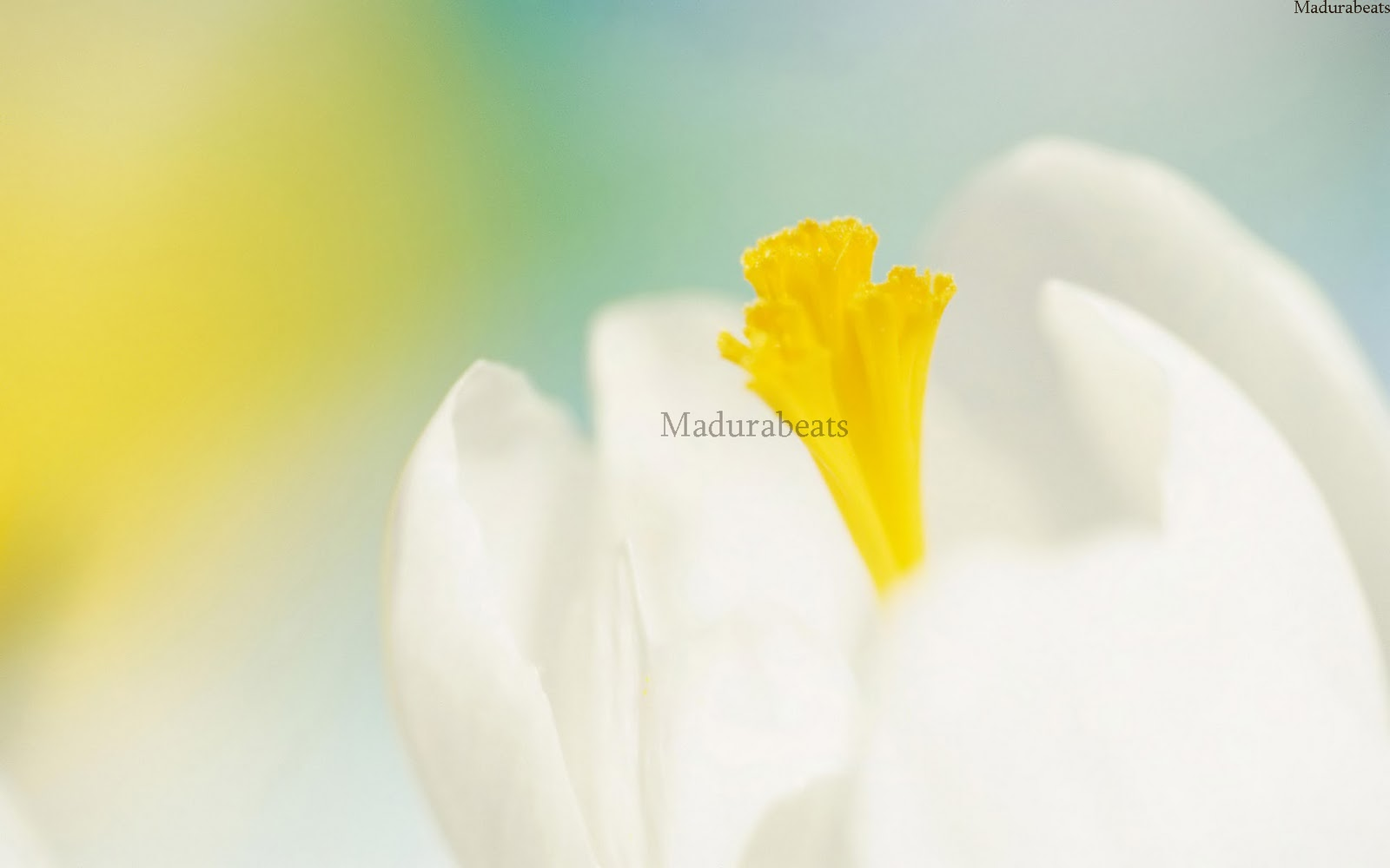 Flower images, Wide screen wallpapers,White_flower_blooming_wallpaper