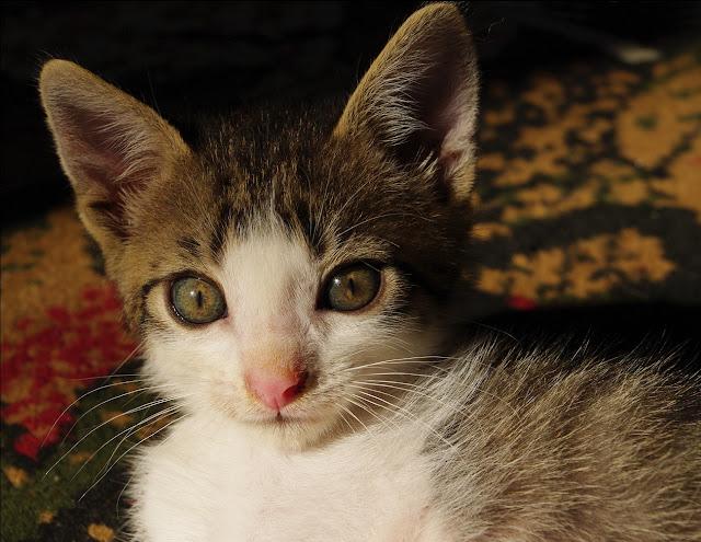 poza pisicute motan pisica cat