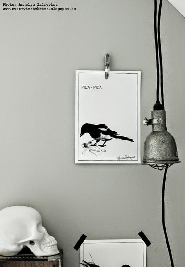 konsttryck skata, print, prints, artprint, artprints, art, konst, svart och vitt, svartvita, svarta, vita, poster, fågel, fåglar, black and white, tavlor, tavla,