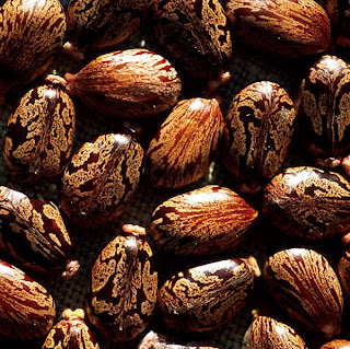 Seeds of Castor oil plant- the source of Ricin