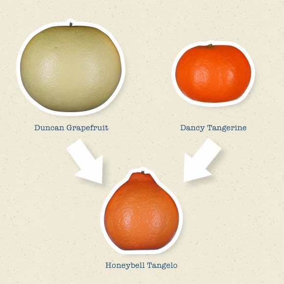 Did you know that a Honeybell isn't an Orange?