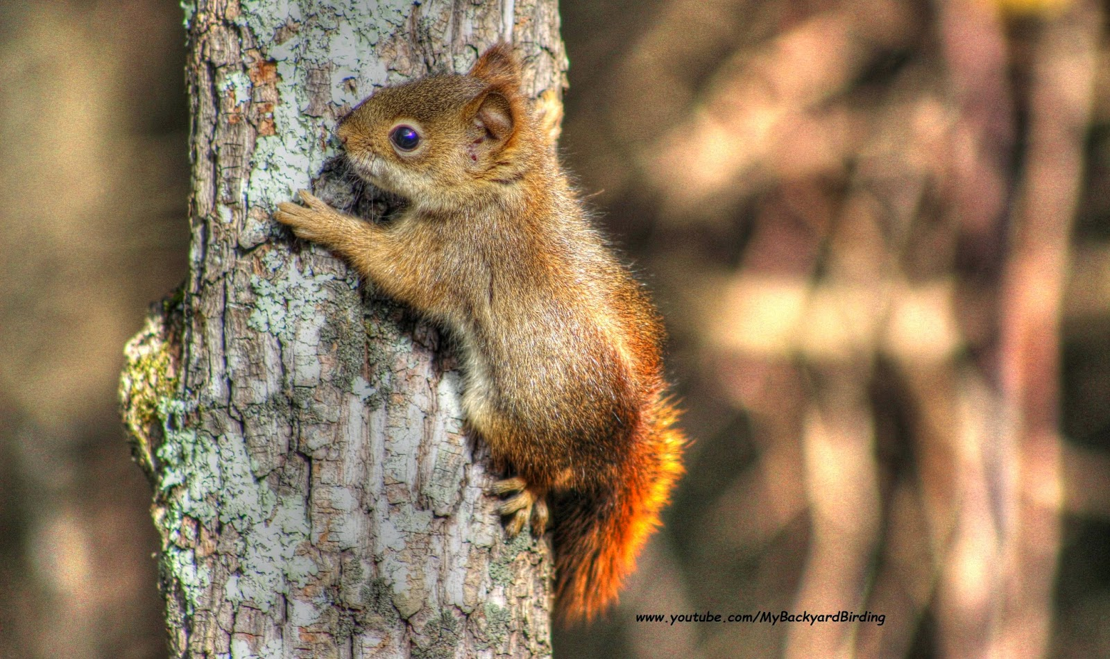 Cute Baby Red Squirrel...