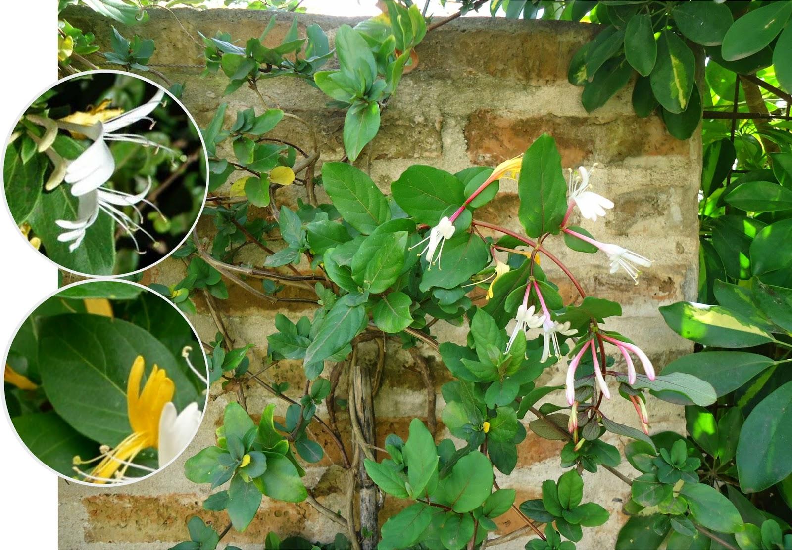 V e r d e c h a c o madreselva - Madreselva planta ...