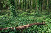 Gort the Ivy