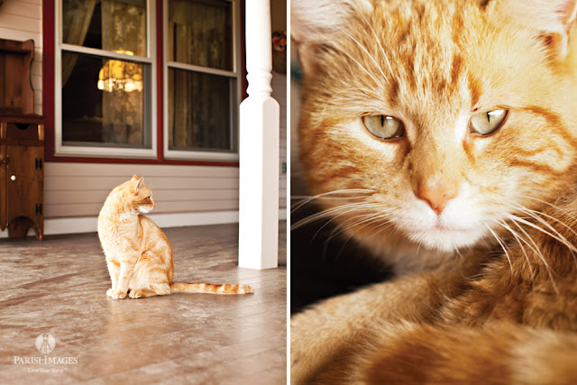 yellow_tabby_cat_with_stripes_kilpatrick_family_farm_new_york this beautiful life sarah parisi