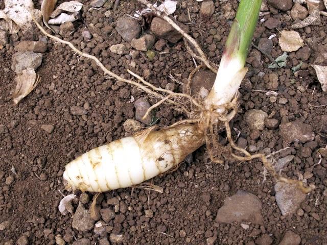Arrowroot (Maranta Arundinacea) Overview, Health Benefits, Side effects
