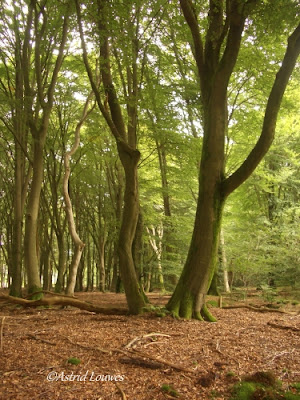 Veluwe Speulder-en Sprielderbos 'dansende bomen'