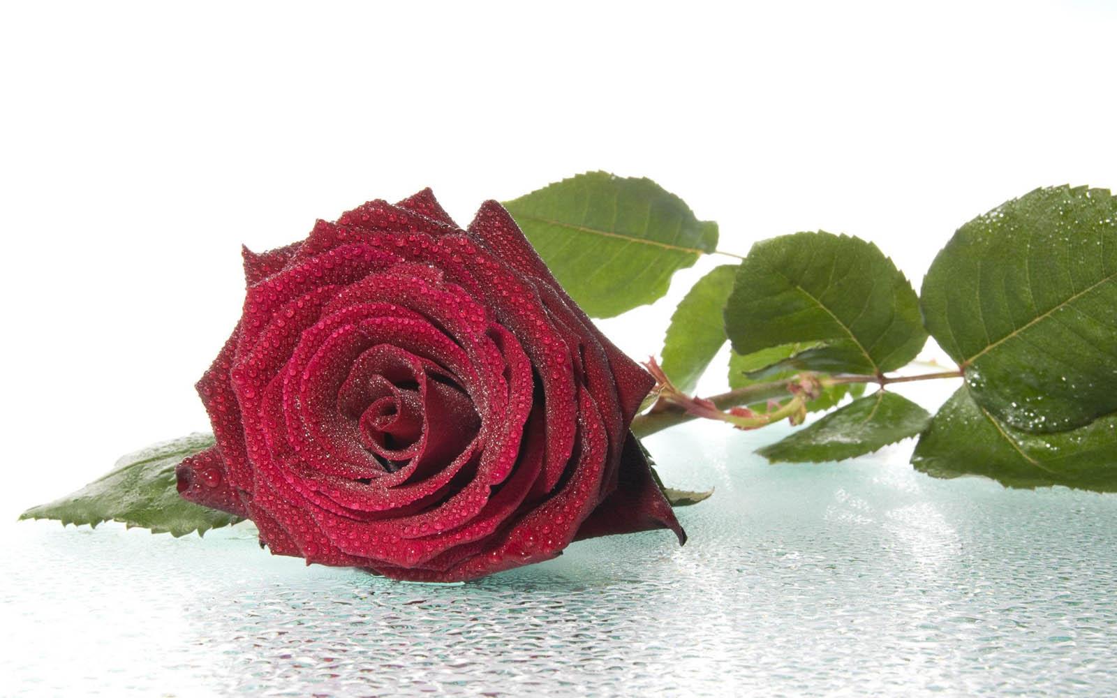 red rose desktop background - photo #5