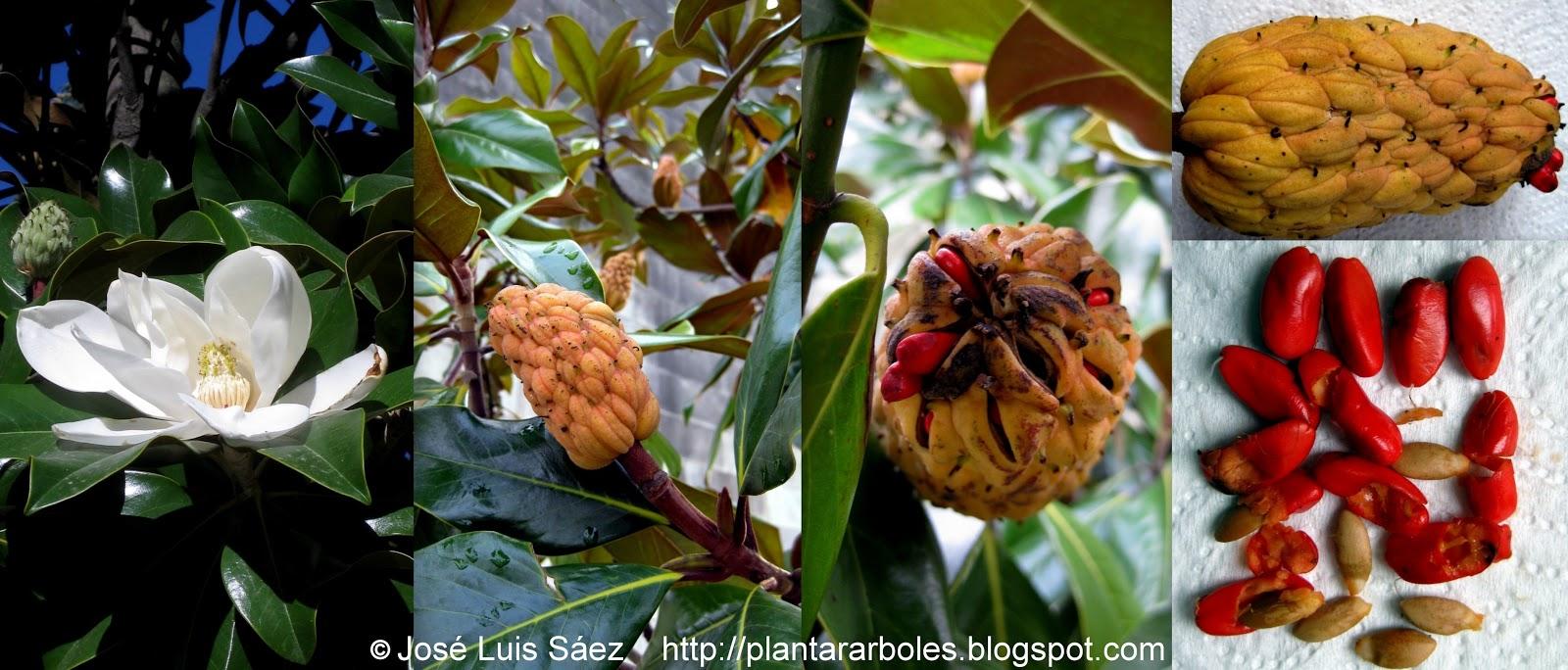 Plantar rboles y arbustos rboles no aut ctonos de - Semilla de magnolia ...