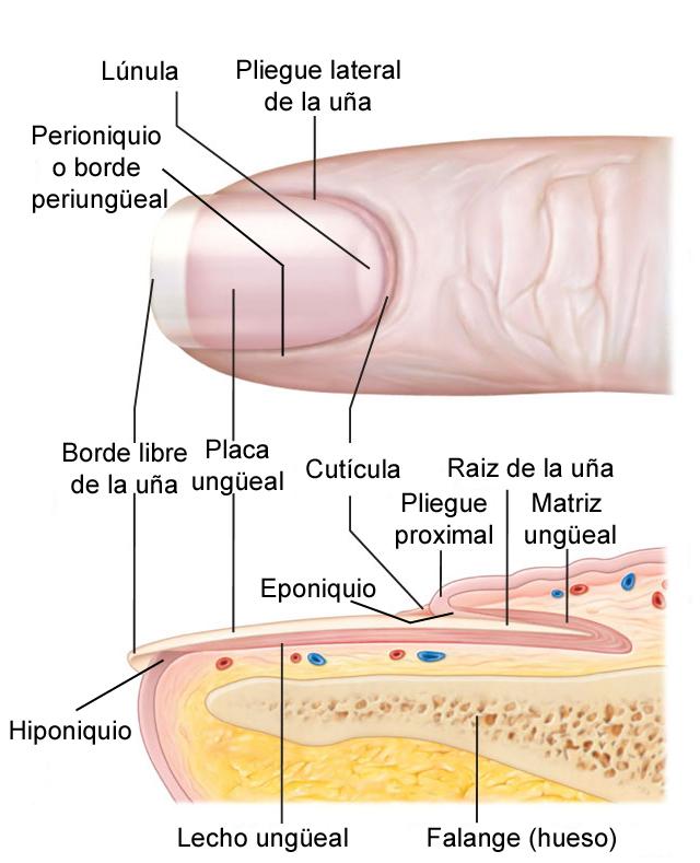 Cithara hispanica : Anatomía solicitada, cuidado y lesiones típicas
