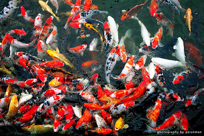 Gambar Foto Cantik Ikan Koi yang Indah