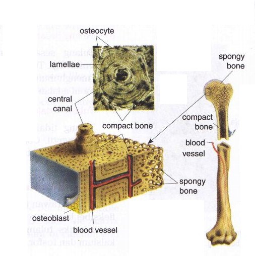 Compact Bone And Spongy Bone New Science Biology