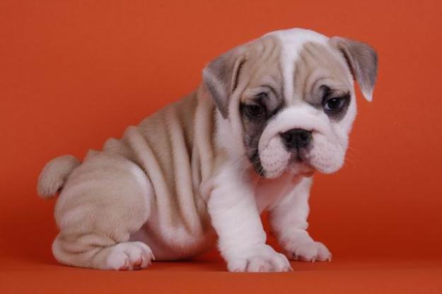 Perros bebés bulldog inglés - Imagui