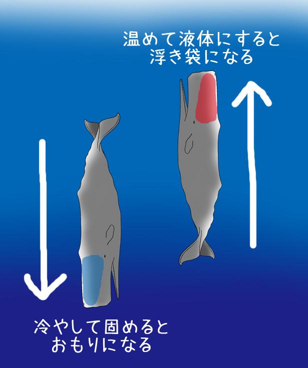 マッコウクジラの画像 p1_31