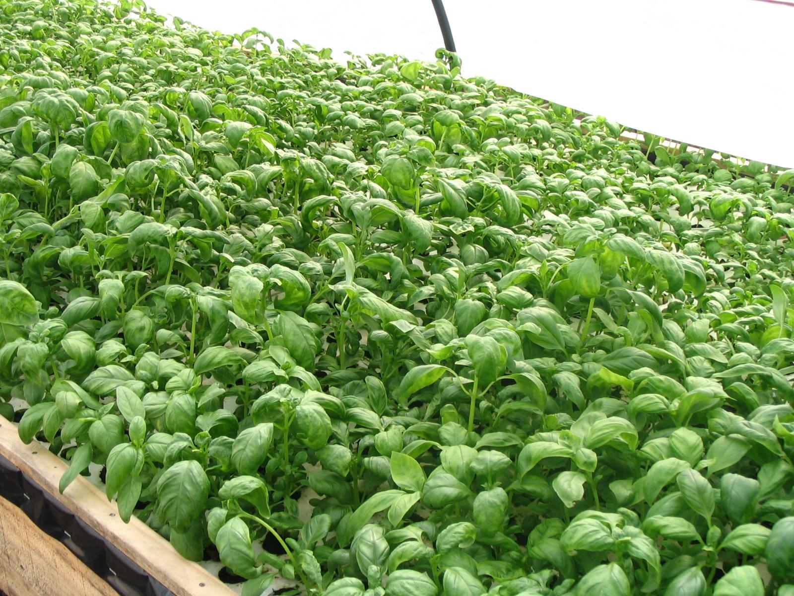 Hidroponia albahaca 15 d as for Cultivo de albahaca en interior
