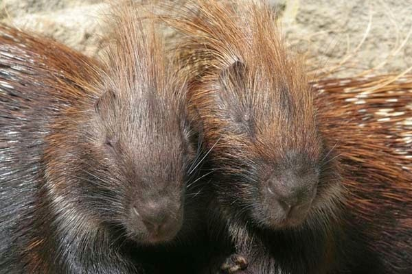 Here Are 24 Awesome Things You Didn't Know About Animals. #11 Just Made My Week. - A group of porcupines is called a
