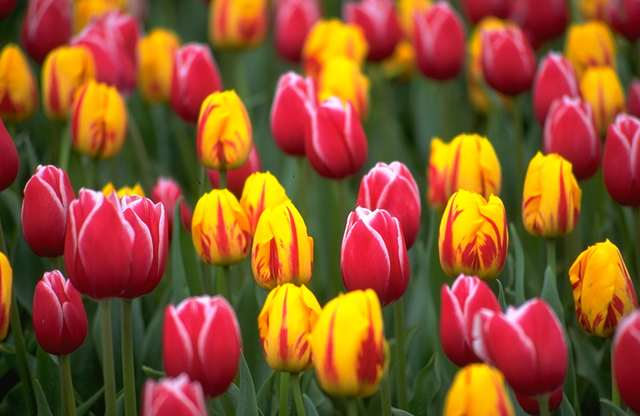 Vriksha nursery the secret code of flowers a valentine day special 24tulip although different tulip colors carry distinct meanings ayellow tulips symbolizing cheerful thoughtsb white conveying forgiveness and mightylinksfo