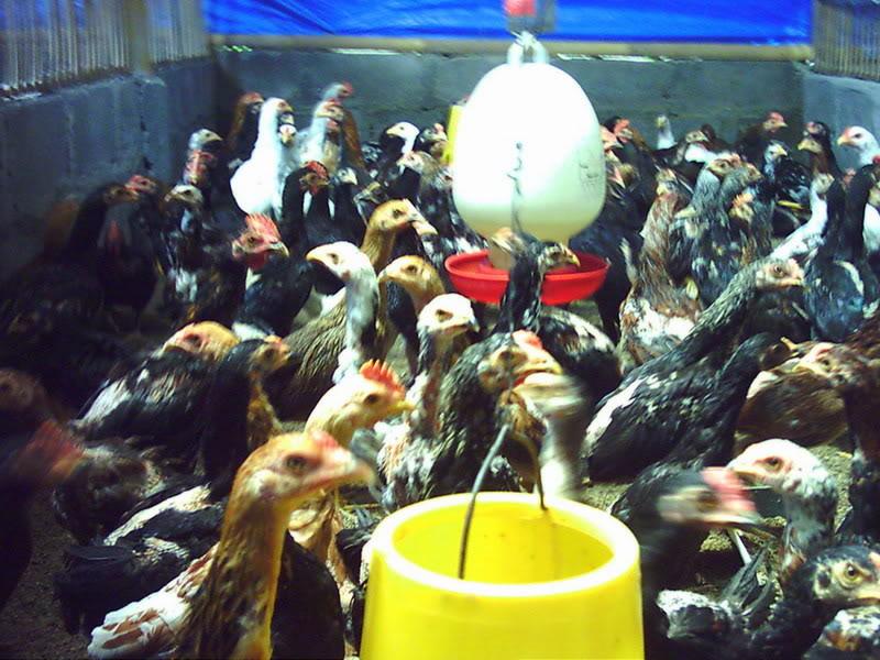 peluang usaha ternak ayam kampung peluang usaha ternak ayam kampung
