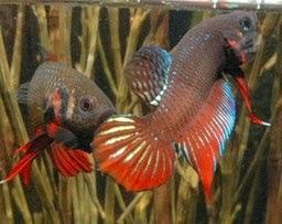 Gambar ikan Cupang lagi adu dengan unik