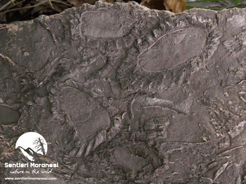 """I """"fossili guida"""" del Pollino"""