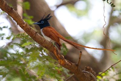 Ceylon Paradise Flycatcher (Terpsiphone paradisi ceylonensis) - Yala, Sri Lanka