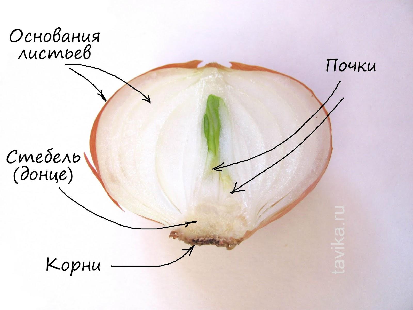 Строение луковицы