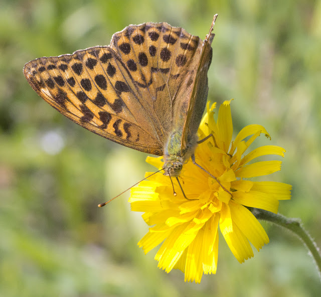 Silver-Washed Fritillary, Argynnis paphia, on Rough Hawkbit, Leontodon hispidus, in Burnt Gorse in High Elms Country Park, 15 July 2011.