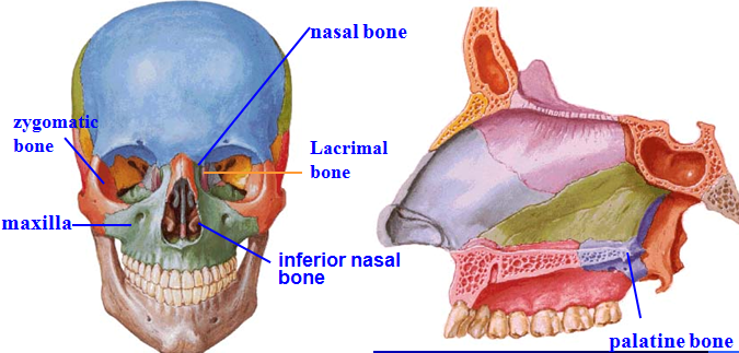 Mbbs Medicine Humanity First Skull Anatomy