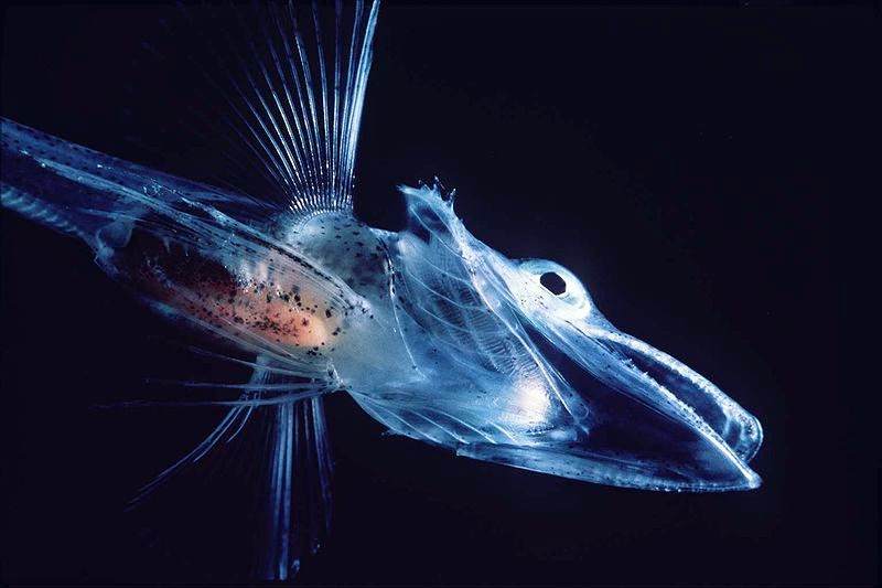 transparent larva of Crocodile Icefish