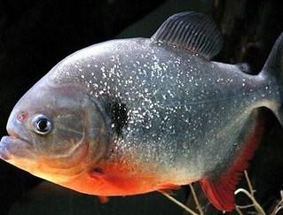 5 Tips Mudah Dan Lengkap Budidaya Ikan Bawal
