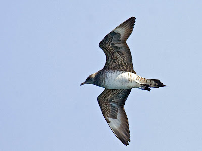 Oregon sea birds: Parasitic Jaeger