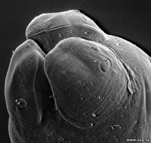 чистка от паразитов полынью и гвоздикой