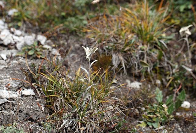 Edelweiss im Schweitzer Nationalpark