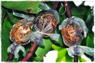 Belajar Cara Mencangkok Tanaman buah Mangga dengan hasil 3 cangkok