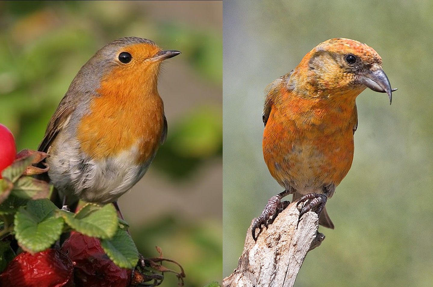 shukernature the robin and the crossbill two easter themed bird
