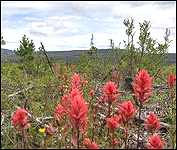 Red Indian Paintbrushes