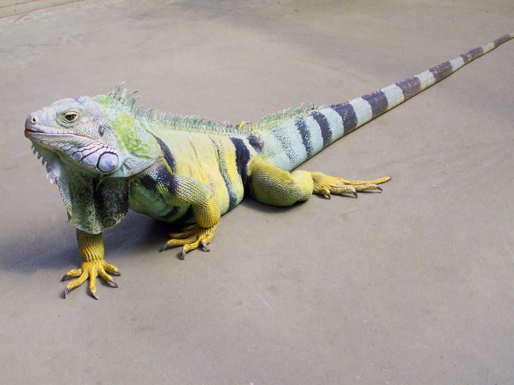 """<img src=""""http://1.bp.blogspot.com/-wIzc6K2OQIU/UtqpbwajOCI/AAAAAAAAI2Q/PzgqeMC-adU/s1600/great-lizard.jpeg"""" alt=""""great lizard"""" />"""