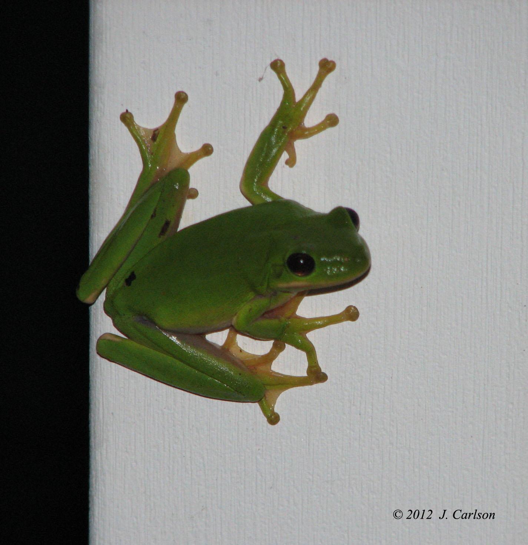 American Green Tree Frogs