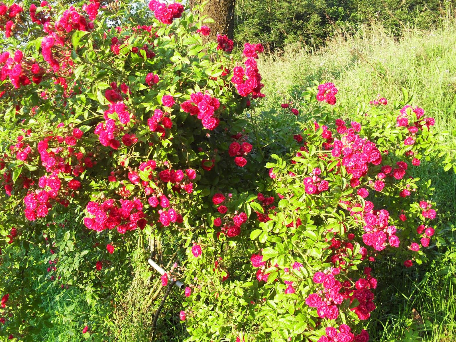 Angolo di provenza le rose del mio giardino - Giardino con rose ...