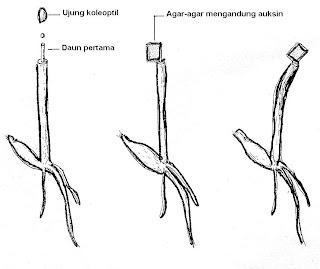 Gambar 8 . Percobaan Went ke II