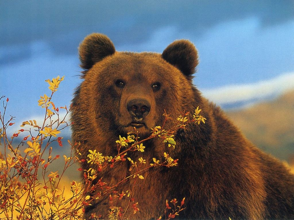 Brown Bear Wallpapers | Fun Animals Wiki, Videos, Pictures ...