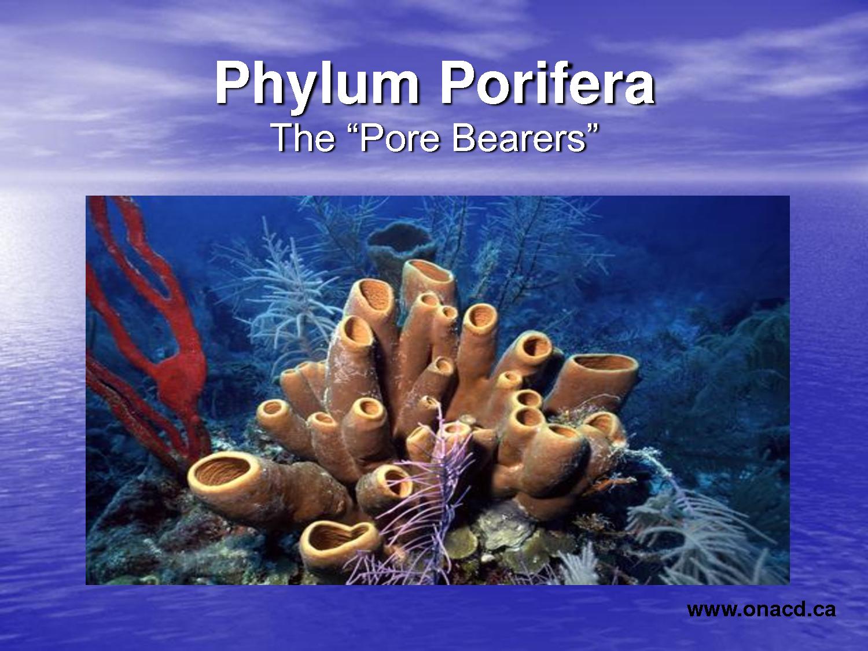 Mengenal Lebih dekat porifera