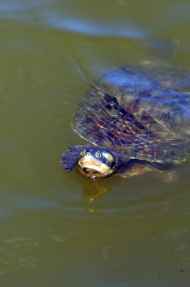 Northern Yellow-faced Turtle 047
