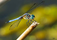 Dragon Fly Photos and Pictures 25