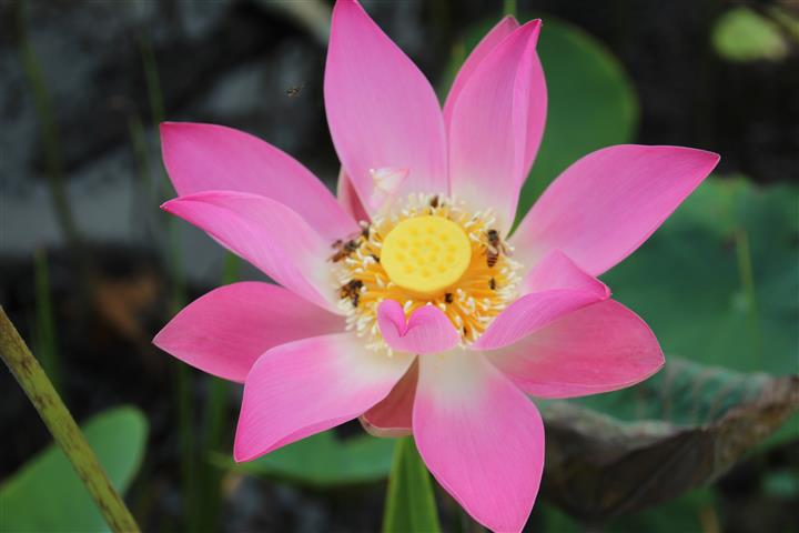 vietnam rundreisen lotusblume nationalblume vietnams. Black Bedroom Furniture Sets. Home Design Ideas